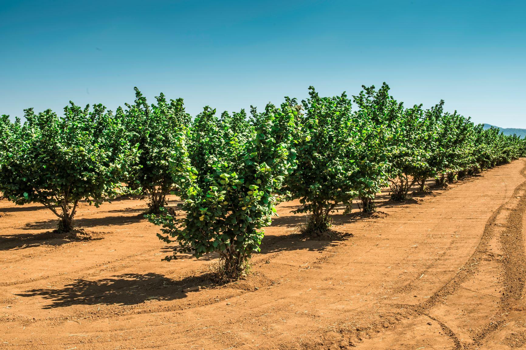 Campo di raccolta nocciole in Sicilia -  dal 01.09.2021 al 30.10.2021